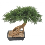 JUNIPERUS BONSAI, 60cm