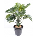 Philodendron, 110cm