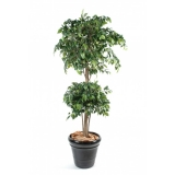 FICUS DOUBLE BALL, 150cm
