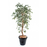 FICUS TRONC SIMPLE GF green/ cream, 180cm