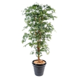 ARALIA NEW MAPLE, 180cm