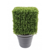 BUXUS REGULAR EDGE KEŘ, 50cm