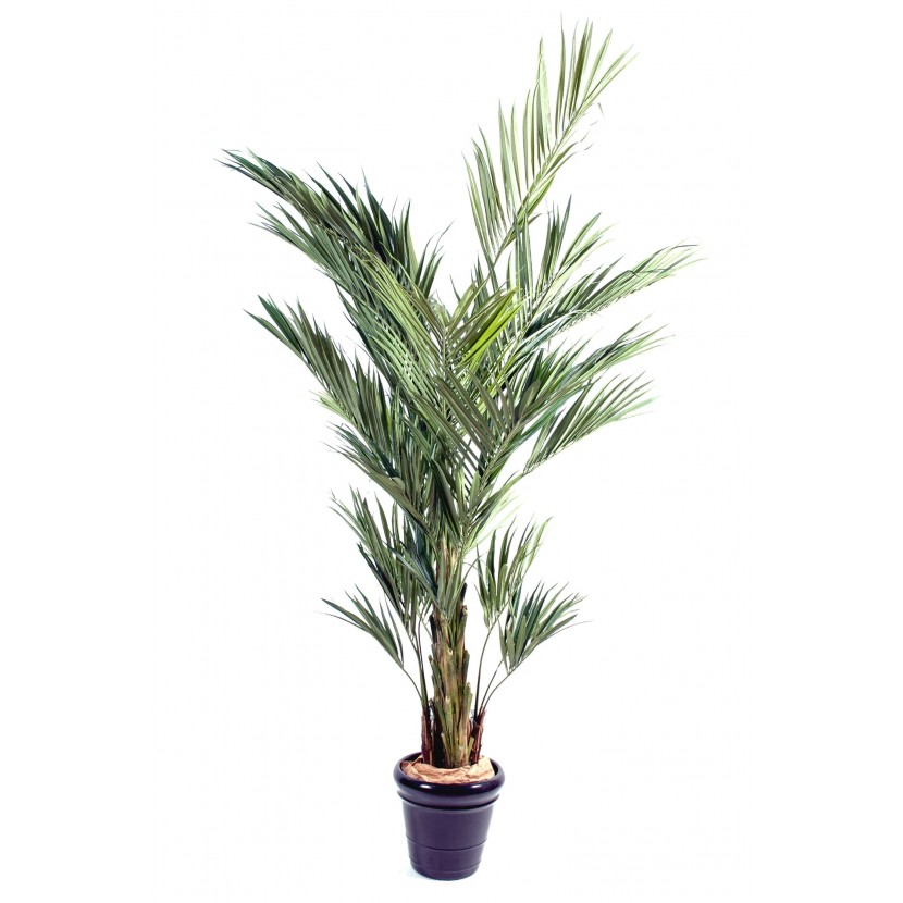 KENTIA ROYAL palma, 270cm