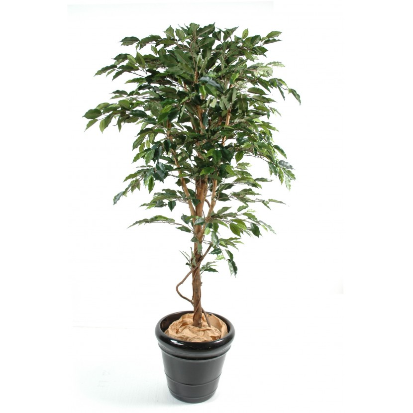 FICUS TRONC SIMPLE GF, 150cm