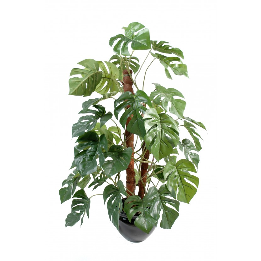 PHILODENDRON GUARDIAN COCO, 100cm