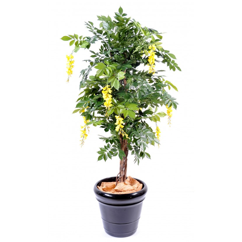 WISTERIA MULTI TREE YELLOW, 150cm