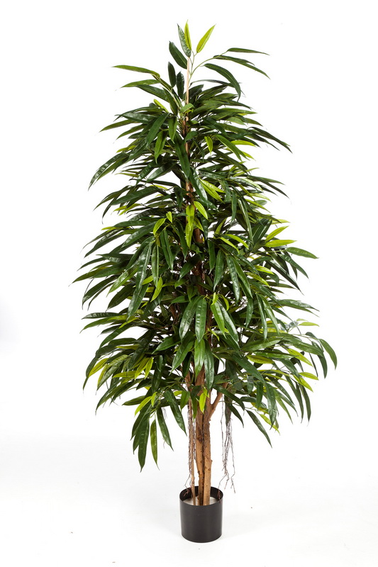 NATURAL ROYAL LONGIFOLIA, 210cm