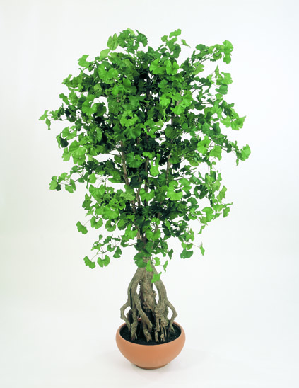 SWEET GINGKO ROOT STROM, 170cm