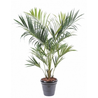 KENTIA ROYAL palma, 220cm