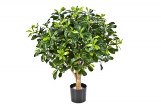 PITTISPORUM KOULE STROM, 65cm