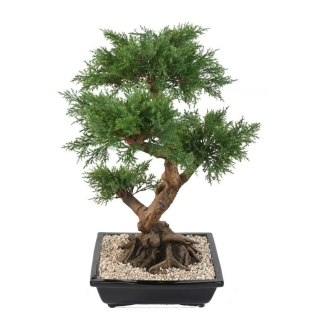 JUNIPERUS BONSAI, 75cm